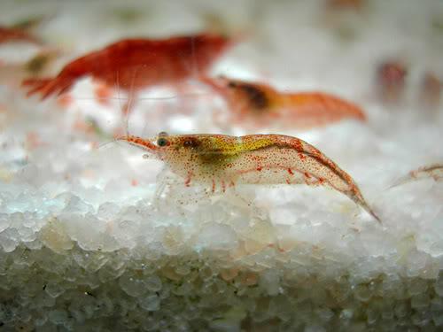 Hembra semiadulta preovada (nótese la mancha amarilla), aún no ha desarrollado del todo su coloración.
