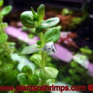 Lindernia Rotundifolia Variegated