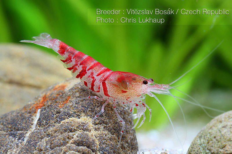 Red Tiger Foto Chris Lukhaup