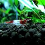 Rili Shrimp