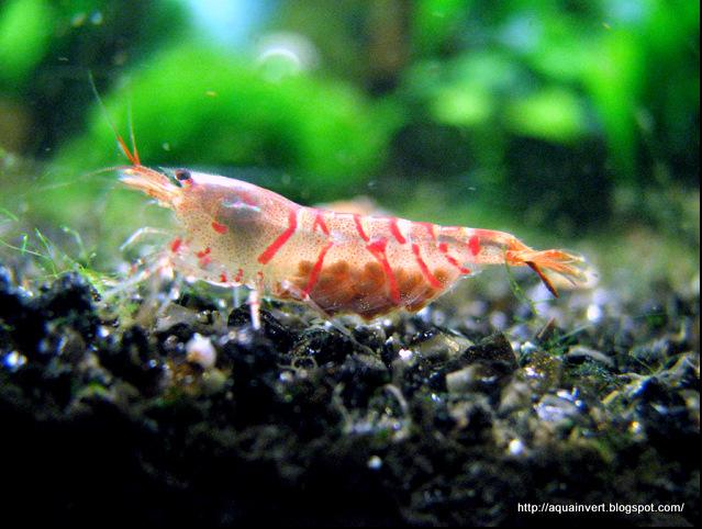 "Caridina cantonensis sp. ""Red Tiger"""
