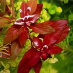 Ludwigia Repens rubin