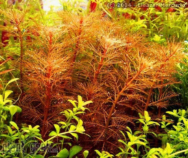 Myriophyllum Mattogrossense 'Red'