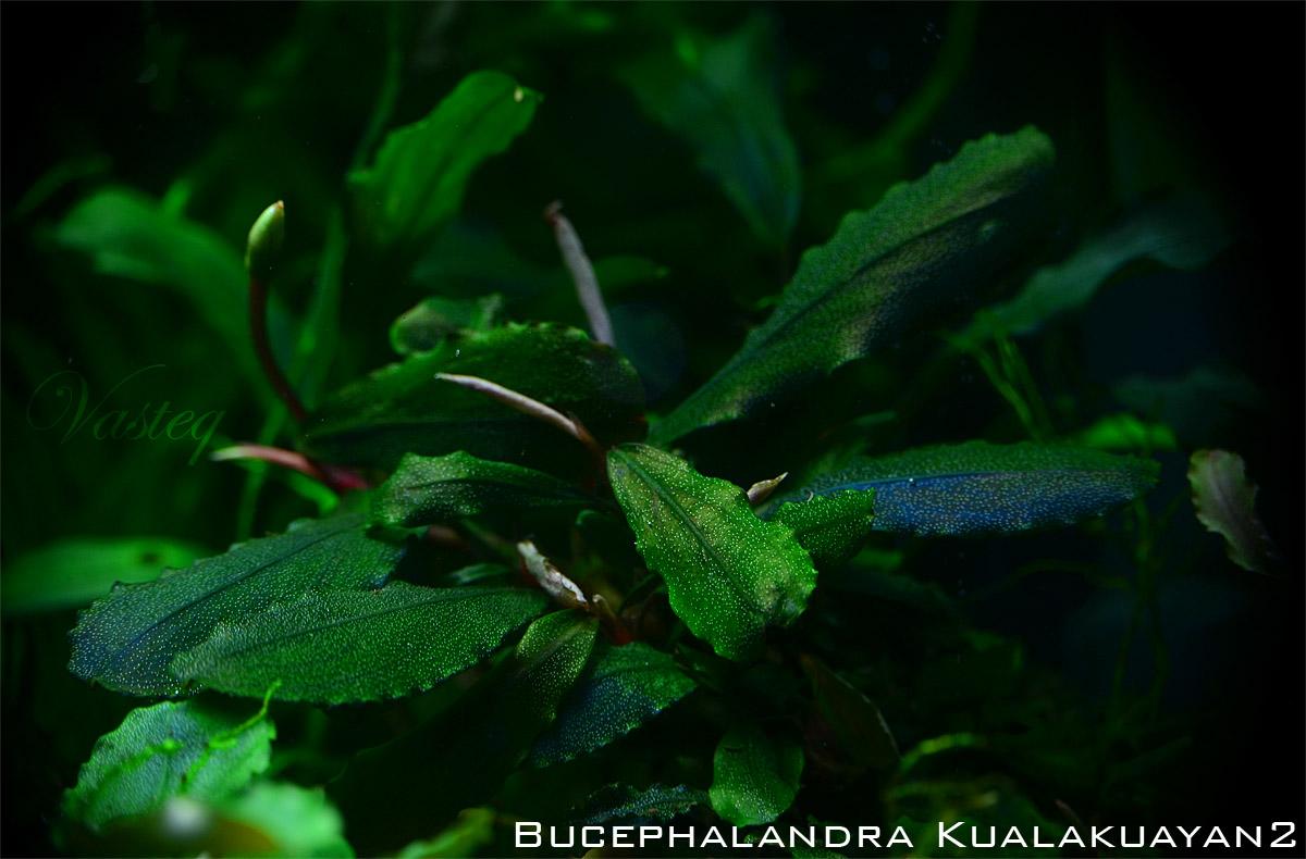 Bucephalandra 'Kualakuayan 2'