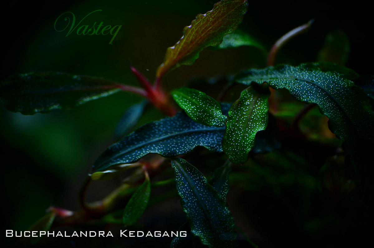 Bucephalandra 'Kedagang'