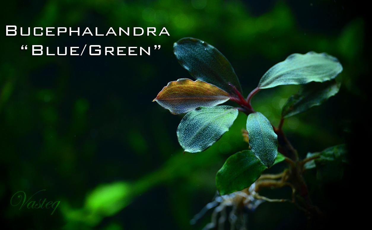Bucephalandra 'Blue / Green'
