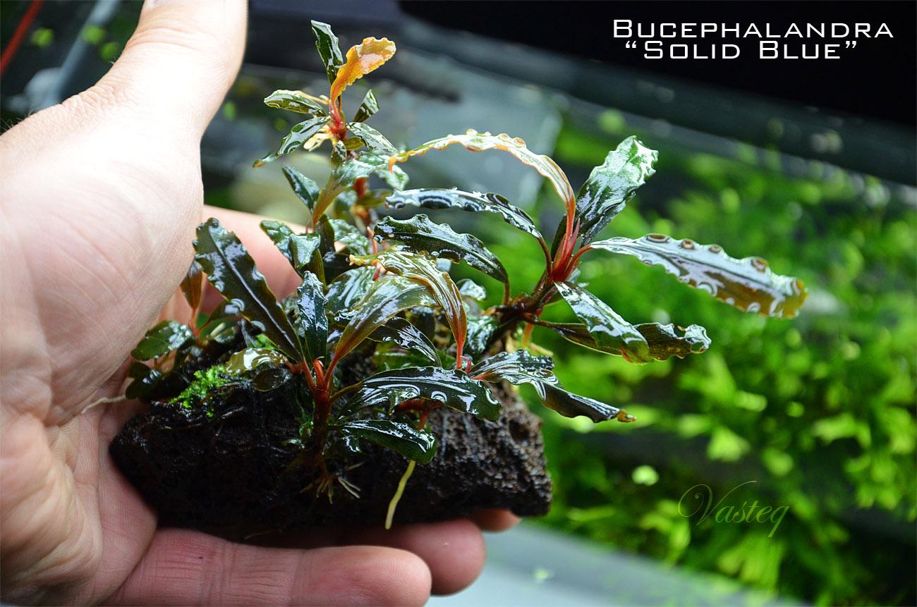 Bucephalandra 'Solid Blue'