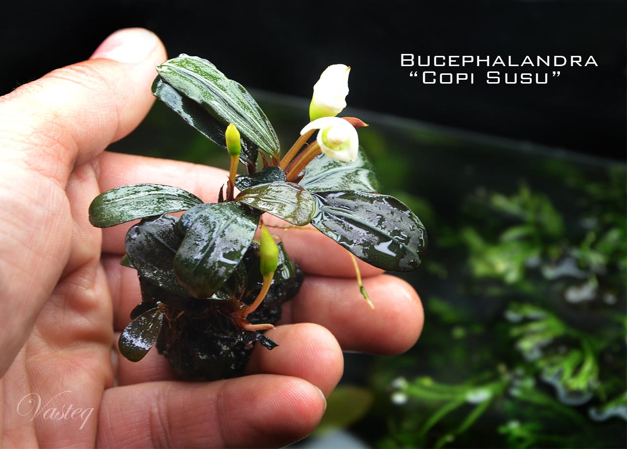 Bucephalandra 'Copi Susu'