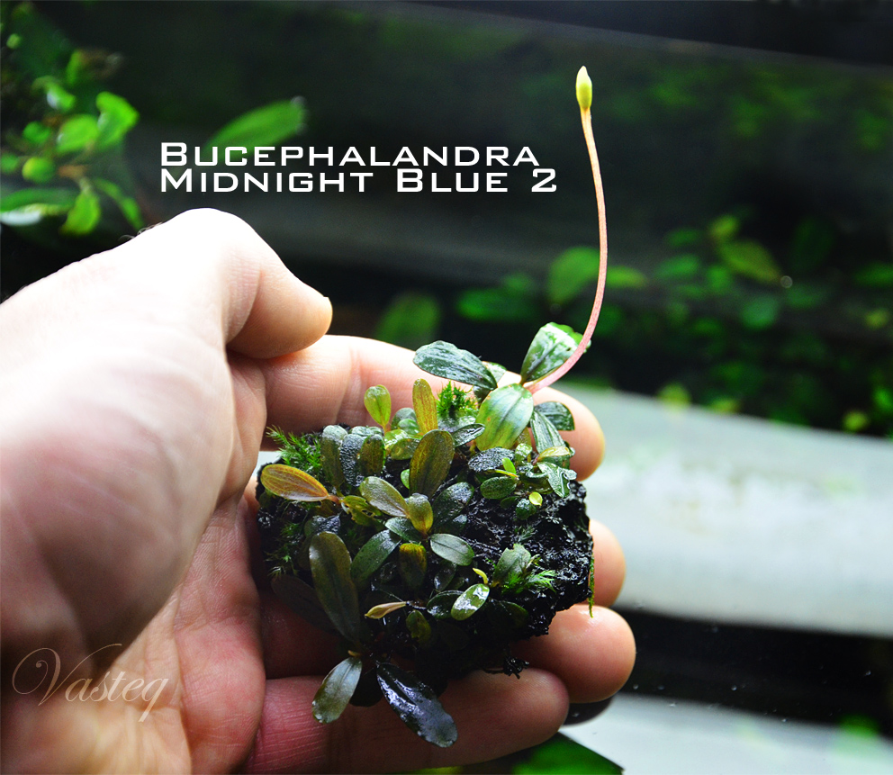 Bucephalandra 'Midnight Blue 2'