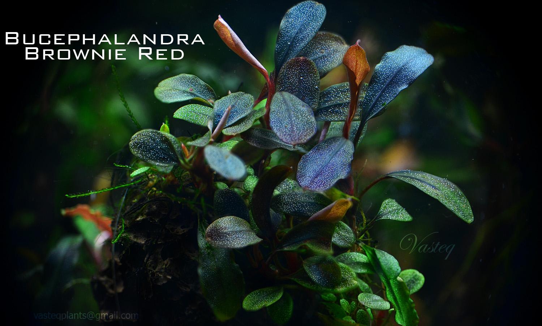 Bucephalandra 'Brownie Red'