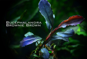 Bucephalandra 'Brownie Brown'