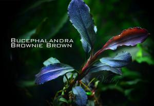 Bucephalandra 'Brownie Brown'
