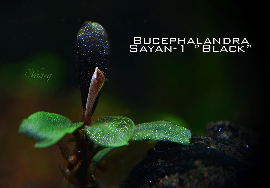 Bucephalandra 'Saiyan-1 black'