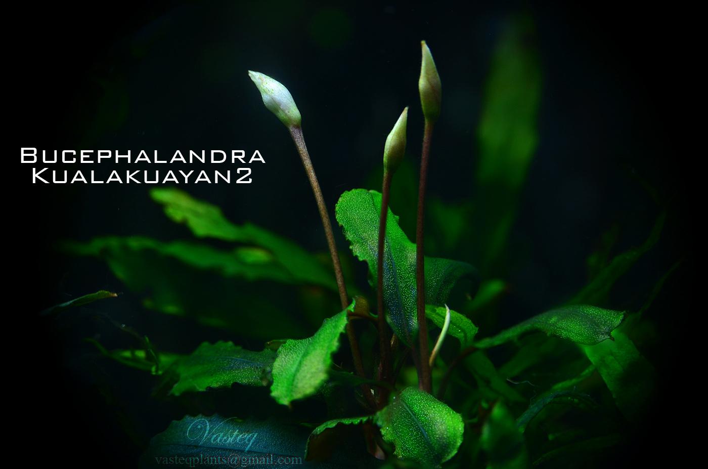 Bucephalandra 'Kualakayan 2'