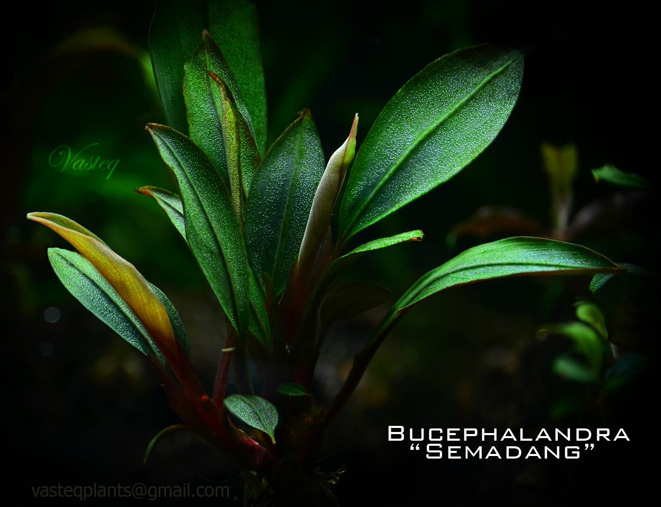 Bucephalandra 'Semadang'
