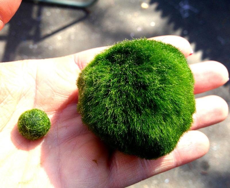 Marimo Ball - cladophora aegagropila