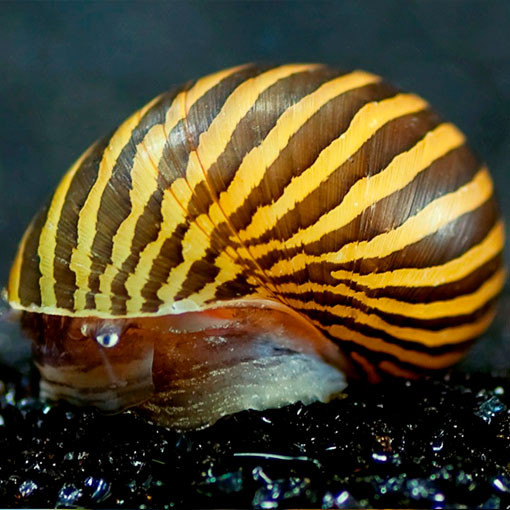 neritina-natalensis2
