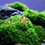 Fissidens Fontanus ( Phoenix Moss )