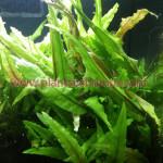 Cryptocoryne wendtii green