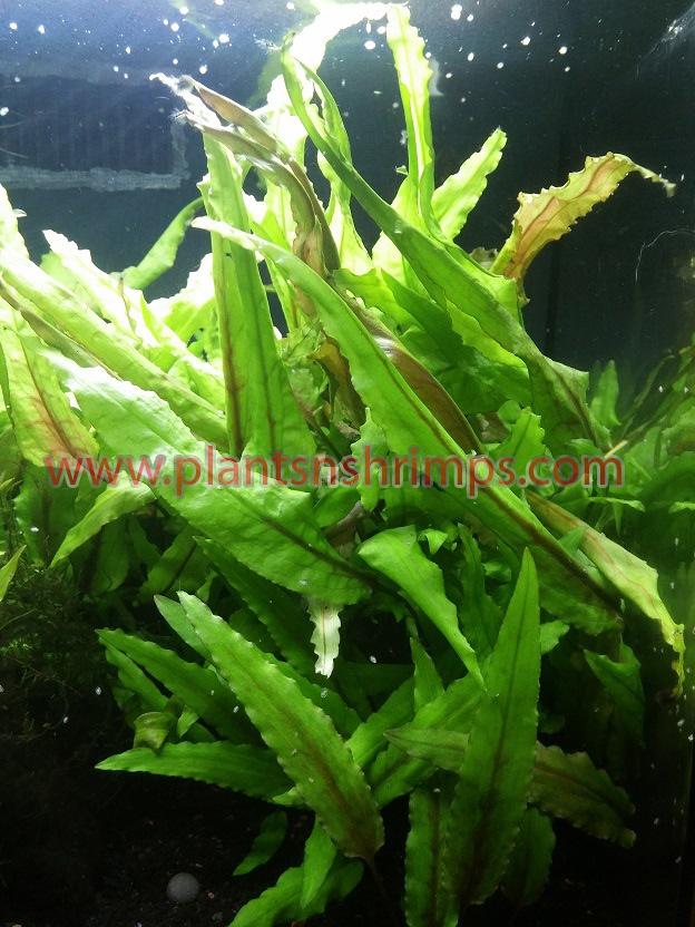 cryptocoryne-wendtii-green
